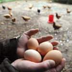 Яйца несушки фокси чик
