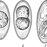 Развитие ооцист коксидий