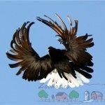 Большой размах крыльев