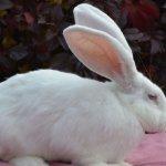 Кролик белого цвета породы Ризен
