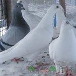 Белые почтовые и сизый голубь