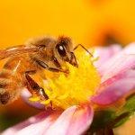 Пчела в процессе сбора пыльцы
