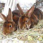 Два кролика на сене