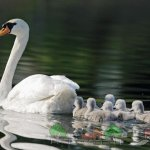 Птенцы плывут за самкой