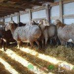 Гиссарская порода овец в хлеву