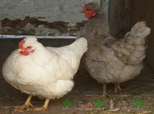 Нездоровая курица фото