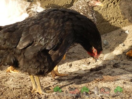 Больная курица фото