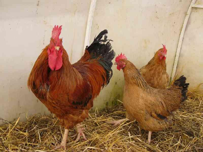 Петух и две курицы фото