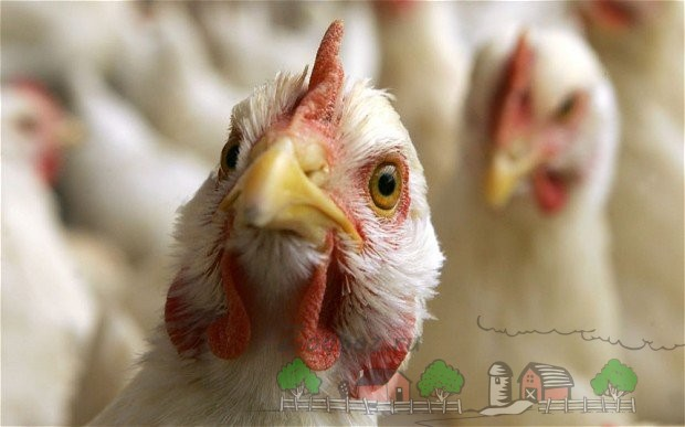 Курица на фоне стаи фото