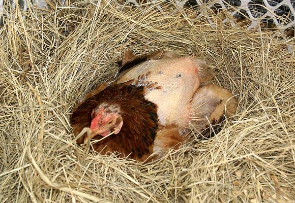 Курица с линькой фото
