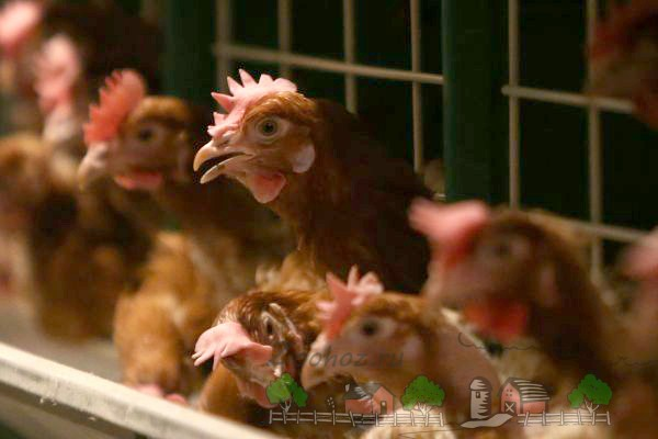 Курицы на птичьей фабрике фото