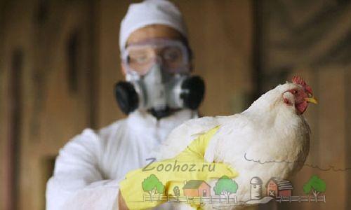 Курица на руках ученого фото