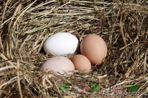 Яйца в гнезде фото