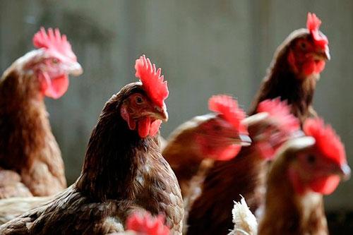 Курицы в помещении фото