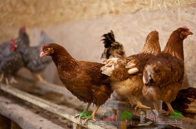 Птицы в курятнике на насесте фото