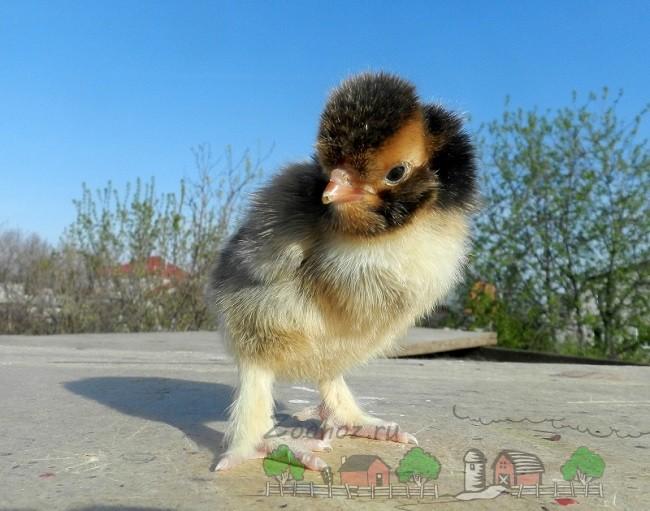 Цыпленок Павловской породы фото
