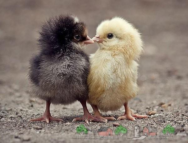 Цыплята с разной окраской фото