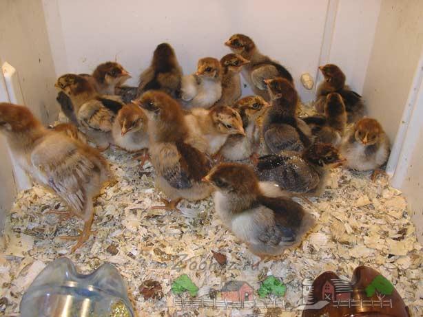 Цыплята породы Кучинская Юбилейная фото