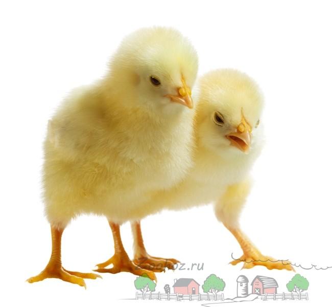 Пара цыплят фото