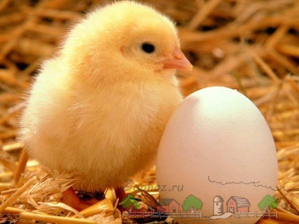Цыпленок возле яйца фото