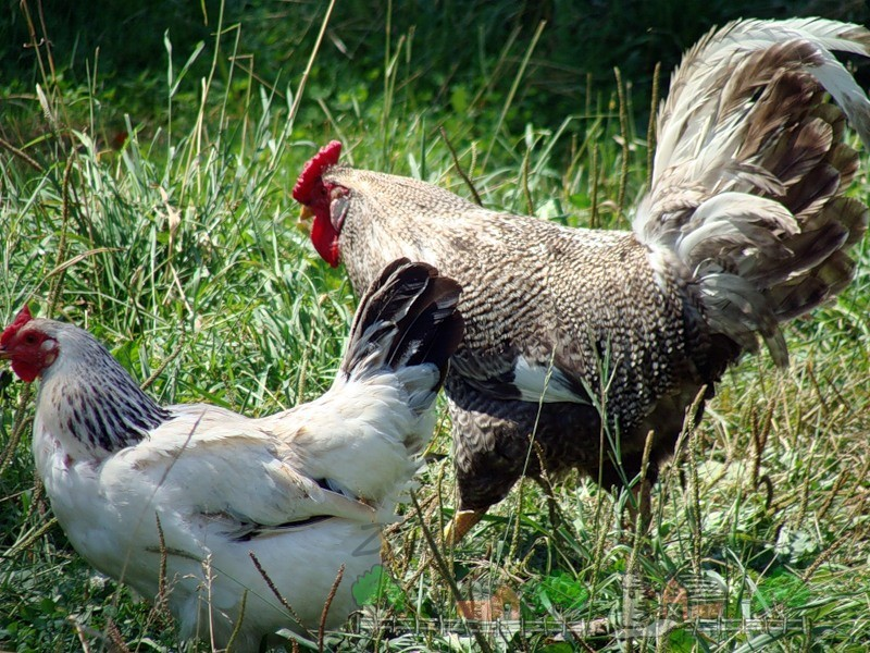 Курица и петух фото