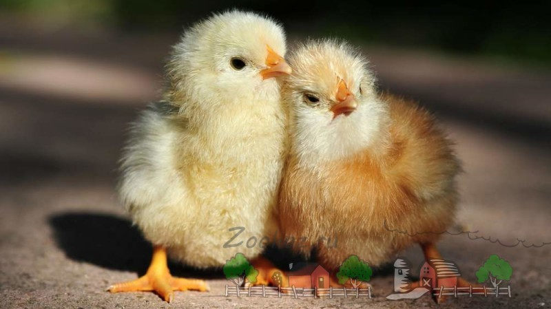 Как отличить молодого петуха от курицы