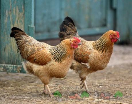 Курицы во дворе фото