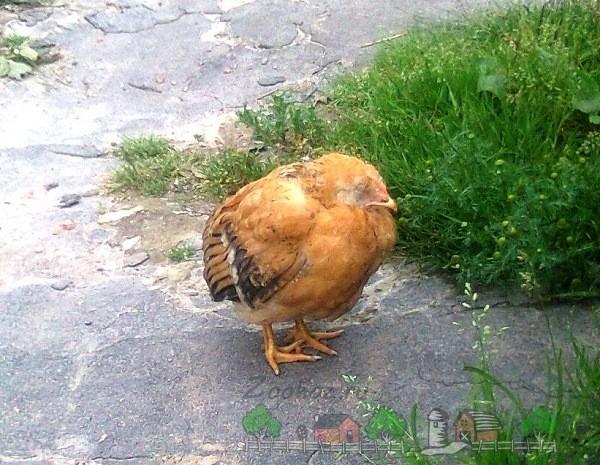Симптомы и лечение болезней кур несушек и цыплят в домашних условиях: советы с фото и видео