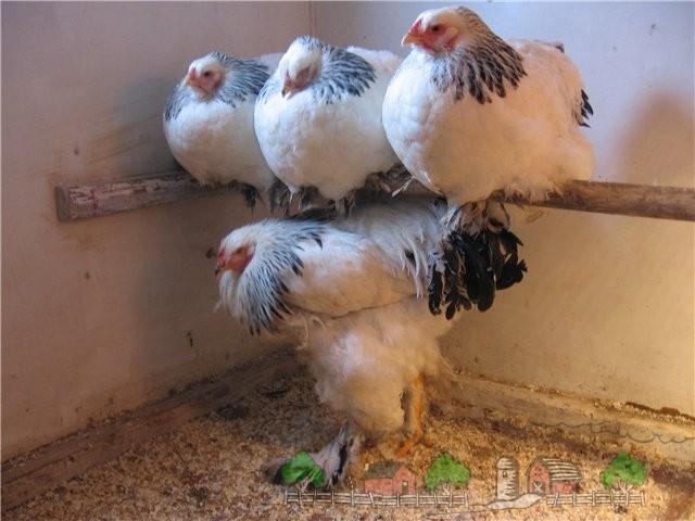 Куры на насесте в птичнике фото