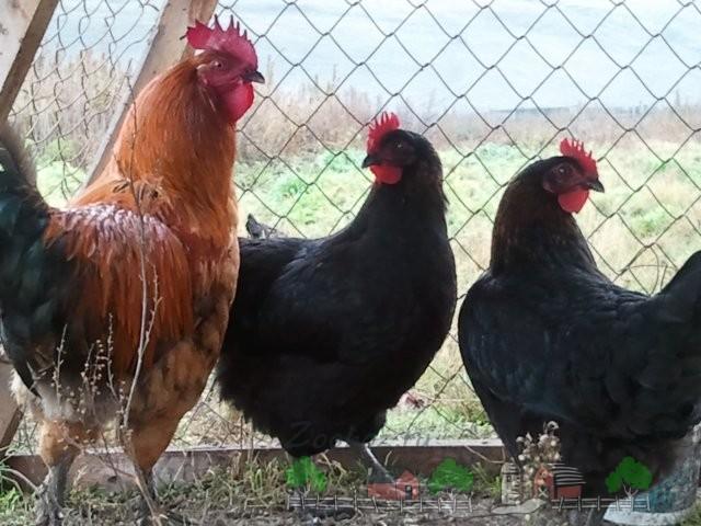 Курицы с петухом фото