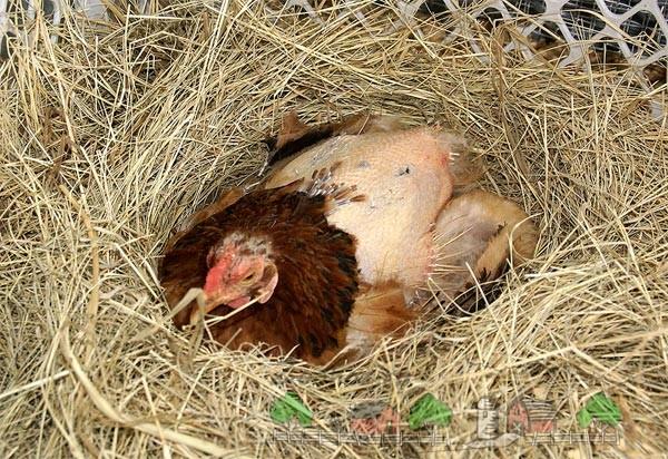 Лысая курица в гнезде фото
