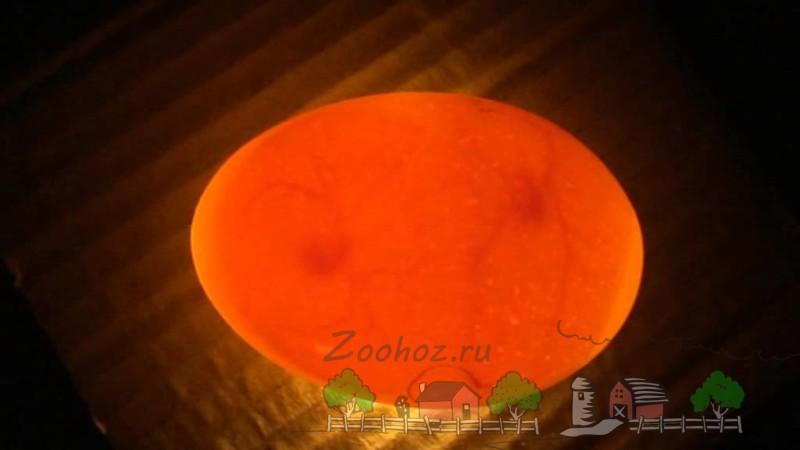 Оплодотворенное яйцо фото