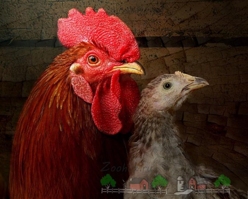 Молодой петух и курица фото