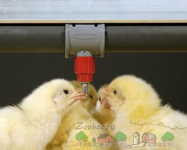 Цыплята пьют с ниппельной поилки фото