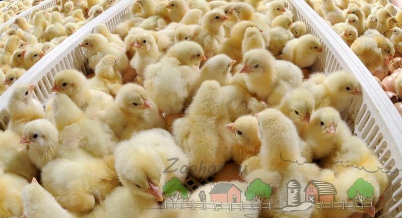 Цыплята в птичнике фото