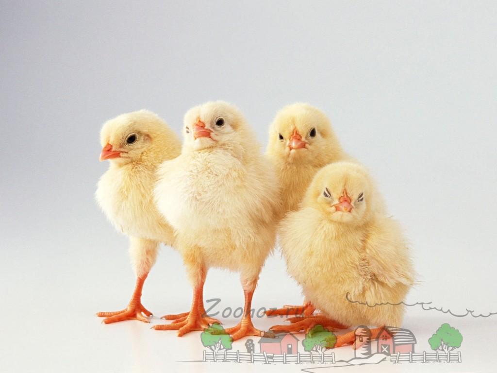 Здоровые цыплята фото