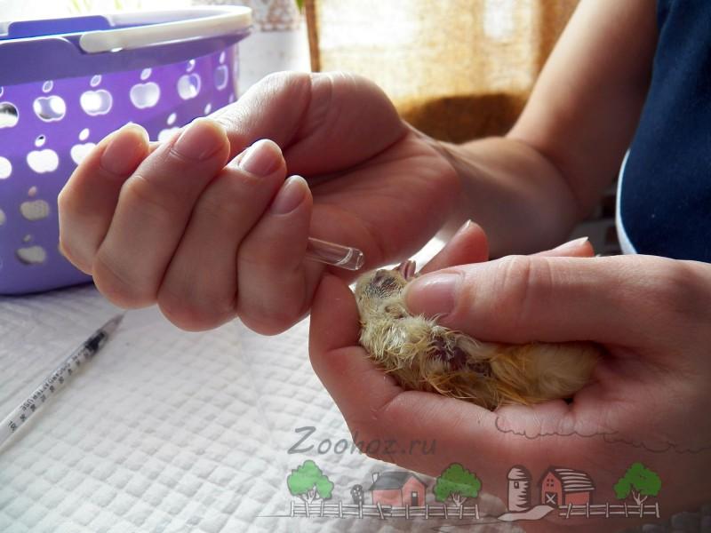 Вакцинация цыпленка фото