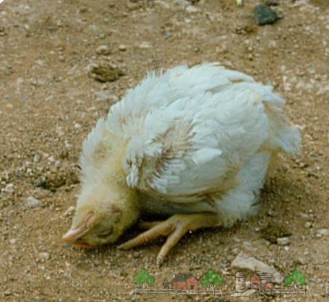 Паралич у больного цыпленка фото