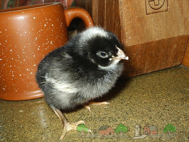 Цыпленок породы Плимутрок фото