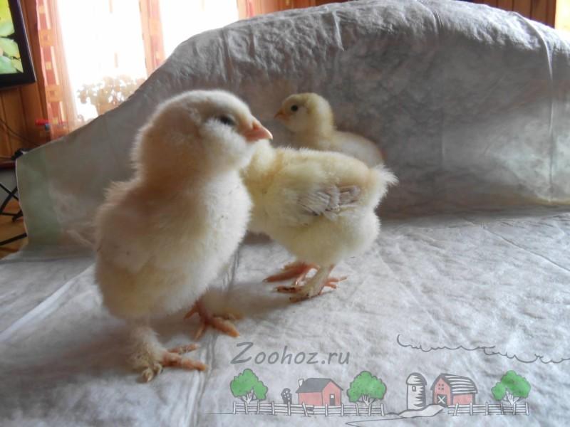 Цыплята Фавероль фото