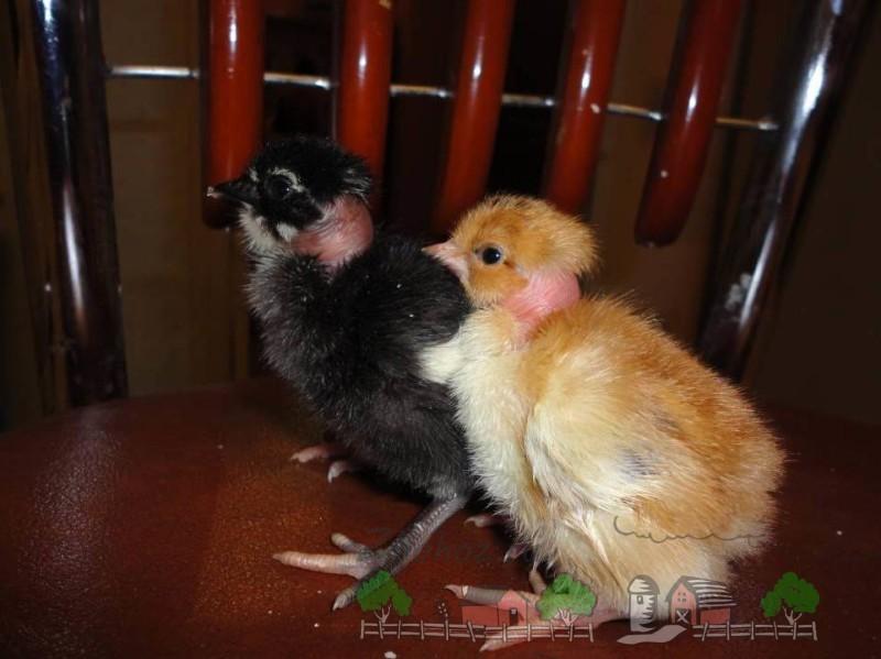 Цыплята малая голошейка фото