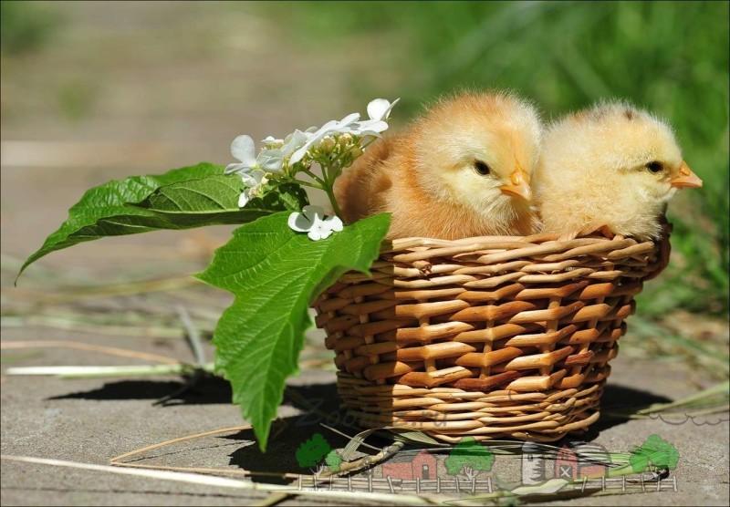 Цыплята в корзинке фото