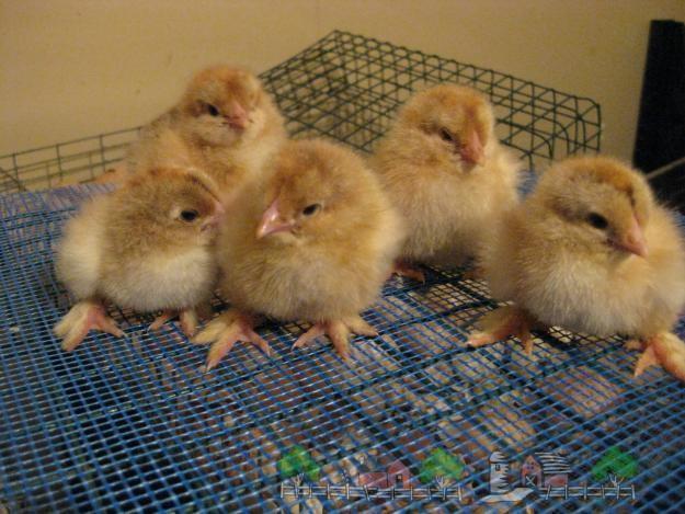 Цыплята бройлеры на клетке фото