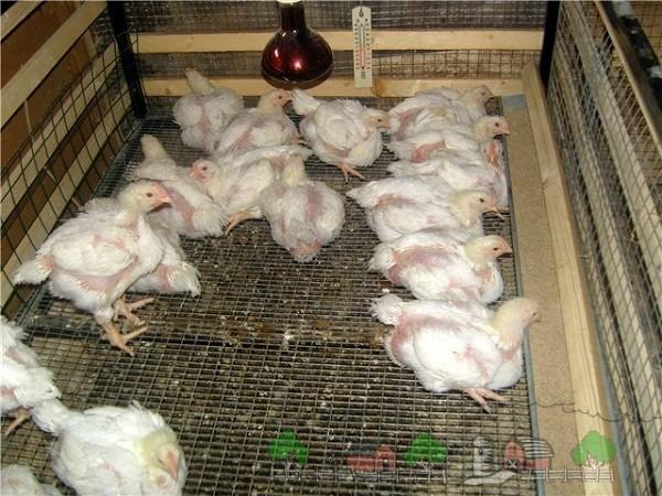 Цыплята в брудере фото