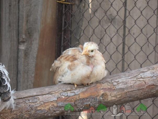 Цыпленок на насесте фото