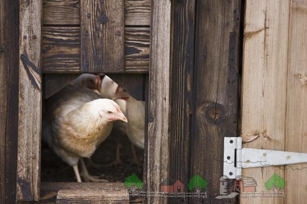 Курица в курятнике фото