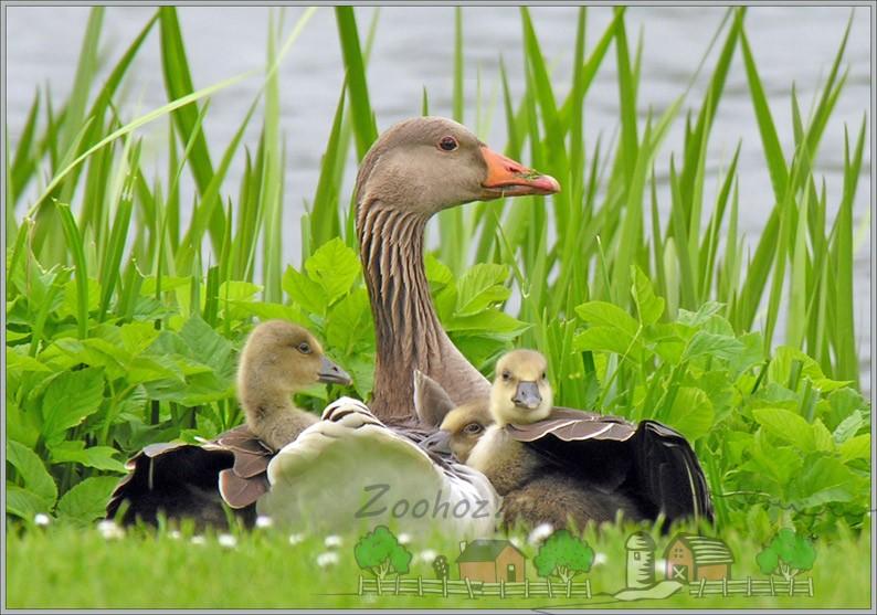 Гусыня с гусятами в траве фото