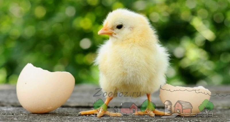 Цыпленок возле скорлупы фото