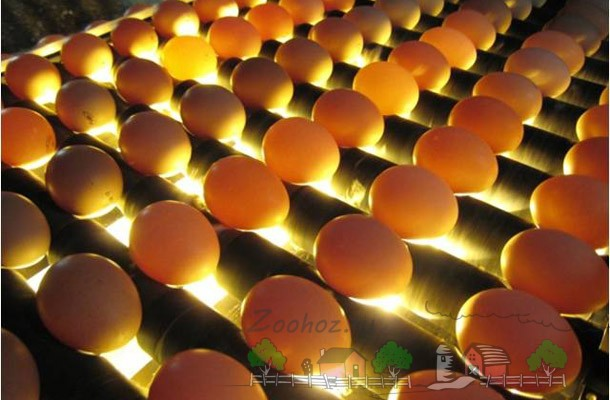 Яйца в инкубаторе под лампами фото