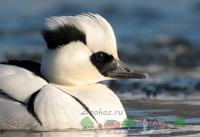 Фото птицы с красивым хохолком